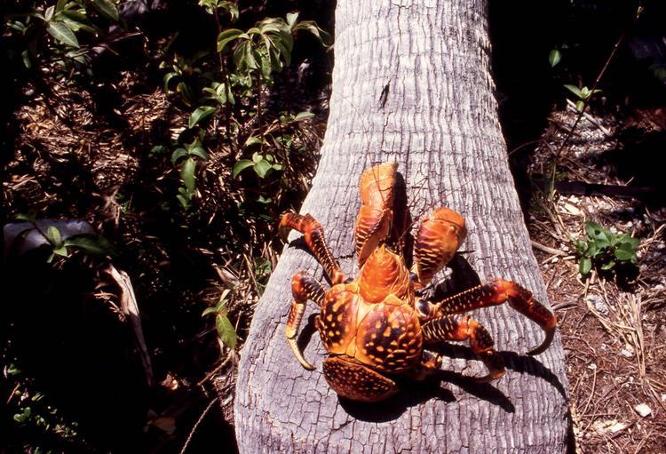 Un impressionnant Kaveu, un crabe de cocotier