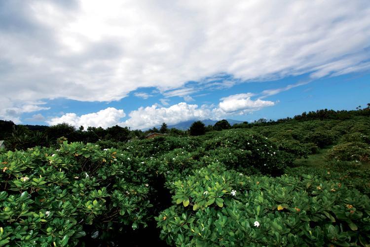 Plantation de Tiare Tahiti sur la Route du Monoï