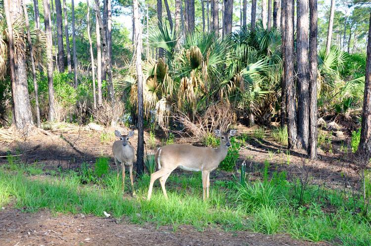 St. Andrews State Park - Deers an der Emerald Coast