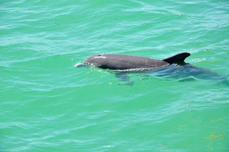 Delfine am Pier vom Fort de Soto Park