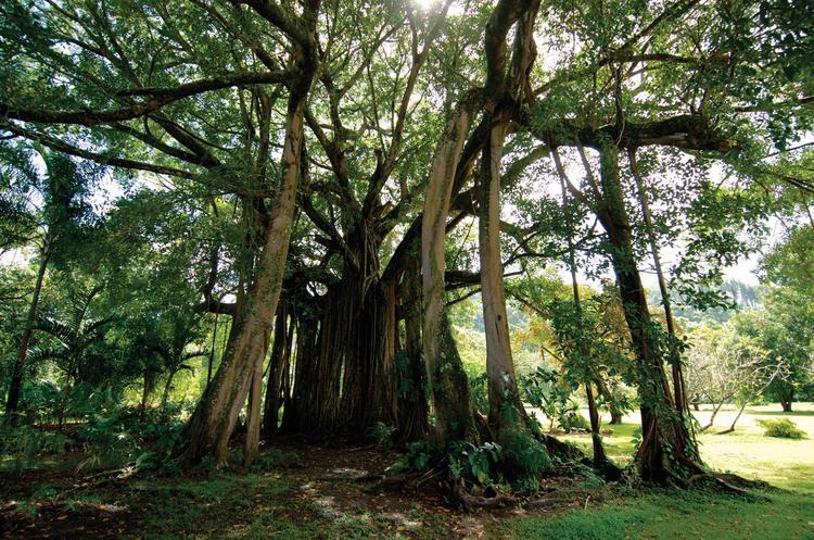 Banian de plus de 80 ans, jardin botanique